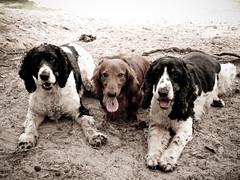 [フリー画像] 動物, 哺乳類, 犬・イヌ, アメリカン・コッカー・スパニエル, ダックスフンド, 201109011100