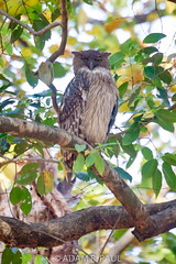 Brown Fish-Owl (Adam R. Paul) Tags: india bird nature animal asia brownfishowl ketupazeylonensis bandhavgarhnationalpark bubozeylonensis