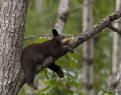 Sleeping Black Bear Cub Beauty (Glatz Nature Photography) Tags: bear cub animalplanet blackbear animalbabies photocontesttnc11 minnesota2011