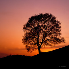 One more sunset for a long-lived oak (Ahio) Tags: sunset red oak quercus silhouettes roble canonf1