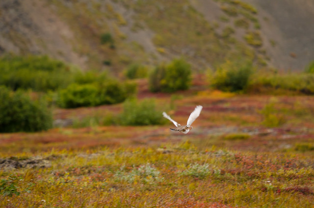 Ptarmigan in flight