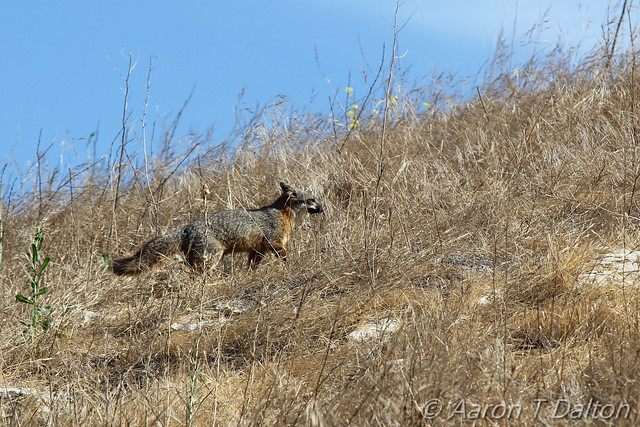 Island Fox in the Brush