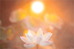 Lotus Flower -IMG_4762-1-1000 (Bahman Farzad) Tags: flower macro yoga fog peace lotus relaxing peaceful meditation therapy lotusflower lotuspetal lotuspetals lotusflowerpetals lotusflowerpetal