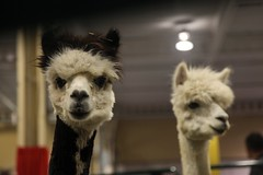 what are you looking at?? (jen ♫) Tags: toronto alpaca cne canadiannationalexhibition