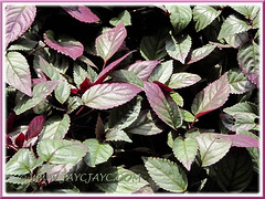 Hemigraphis alternata (Red Flame Ivy, Red Ivy, Cemetary Plant, Metal-leaf) at Rawang Rest & Recreation area along NS