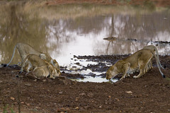 Lions_Drinking_At_Watering_Hole_Med (badgerpie) Tags: africa canon cub lion safari 7d lions cubs lioncubs bigfive big5 makalali garonga august2011 makalaligamereserve badgerpie flickrbigcats littlegaronga