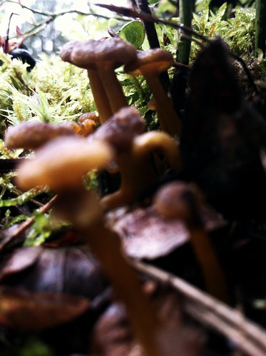 Funnel chantarelles