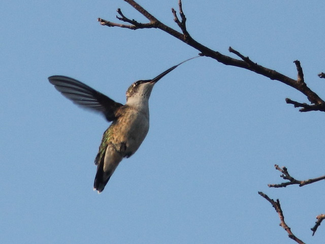 Ruby-throated Hummingbird long tongue 20110830
