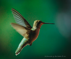 Hummer II (TheShootersView) Tags: nature birds humingbirds dovecreek canon7d tankersleytexas