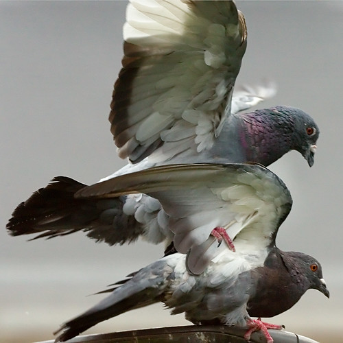 Pigeons by zigazou76, on Flickr