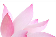 Lotus Flower - IMG_6050-1000 (Bahman Farzad) Tags: pink flower macro yoga peace waterlily lotus relaxing peaceful meditation therapy lotusflower lotuspetal lotuspetals lotusflowerpetals lotusflowerpetal