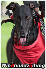 FCI Greyhound European Championship 2011, Beringen: Tiffanys Hope