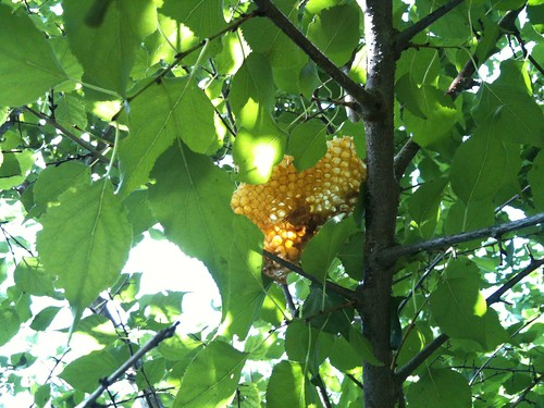 honeycomb in tree