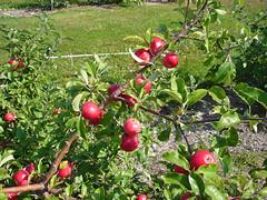 V.1 Tree with Fruit