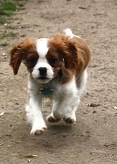 I'm coming as fast as I can (Bogart Cat) Tags: chaplin oadby kingcharlescavalier