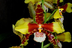 Rossioglossum Bob Hamilton (Nurelias) Tags: red brown white orchid flower color macro fleur beautiful yellow america photography flora nikon rainforest pattern orchids tiger large exhibition orchidaceae latin tropical chestnut orquidea lip hybrid orchidee makro barred magnificient d90 orchidales