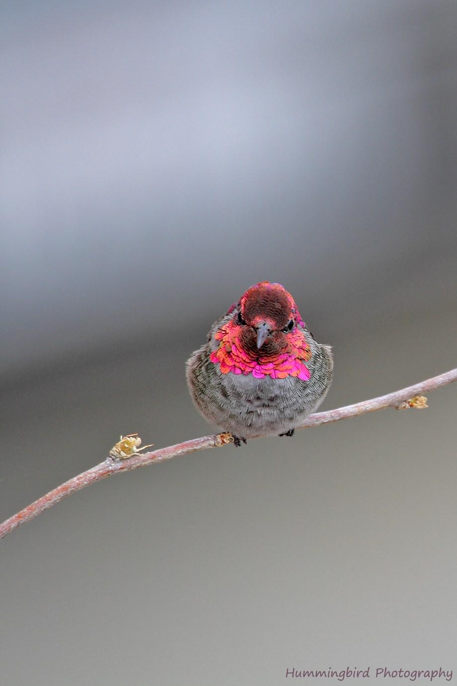 Anna's Hummingbird 091111