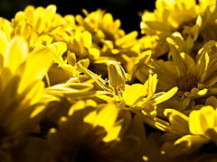Lost in Yellow (Peddan Foto) Tags: light sun flower color up yellow fly colorful dof close bokeh cmwdyellow
