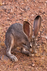 Camera Shy (James Marvin Phelps) Tags: rabbit valleyoffire print poster photography desert nevada mojavedesert jackrabbit valleyoffirestatepark blacktailedjackrabbit mandj98 lepuscalifornicus deserthare overtonnevada jmpphotography jamesmarvinphelps