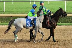 2011-09-14 (129) r9 Ivan Sabol on #3 Miss Stauder (JLeeFleenor) Tags: thoroughbredracing horseracing marylandhorseracing jockeys horses thoroughbreds photo photography photos caballo cheval faras hest hevonen each alogo soos kuda gigi cavallo uma pfeerd koin   cavalo  konj hst     ko  jockey   jinete   jquei   dokej okej kilparatsastaja rennreiter fantina  dokej jocheu jokey laurelpark grey gray ma ivansabol marylandracing md maryland