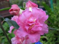 Pink Double Azalea