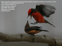 Vermillion flycatcher Birding Peru (11) (Nature Expeditions 06) Tags: trip vacation urban bird peru nature birds holidays tour lima birding stefan andes trips guide vermilion peruvian vermilionflycatcher flycatcher sanisidro pyrocephalusrubinus expeditions tyrannidae pyrocephalus rubinus elolivar birdguide lomasdelachay pantanosdevilla natureexpeditions birdinginperu austermhle birdingperu birdinginlima flycatchersofperu