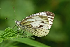 Female Green - Veined White Butterfly. (stanley.ashbourne) Tags: mygearandme mygearandmepremium mygearandmebronze mygearandmesilver mygearandmegold gearandmebronze