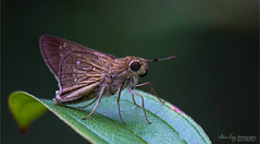 A skipper. (Rhivu_Ray) Tags: new copyright india macro green eye art nature beauty canon butterfly insect photography eos living is leaf eyes asia close earth flight skipper like short 7d getty lovely skip quick biology bengal efs westbengal kharagpur f456 smallbeauty bestofindia eos7d canoneos7d 55250mm pelopidas efs55250mmf456is canonefs55250f456is paschimbanga rhivu rhivuray rhitamvarray rhivuphotography