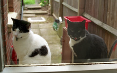 Please may we come in now? (Joybot) Tags: wood 2002 red two pet white black brick film window cat 35mm fence garden outside 50mm wooden waiting couple sill brothers pair wait meow coventry miao 猫 windowsill fujica ねこ 貓 miaow stx1n コヴェントリー كوفنتري 考文垂 高雲地利 κόβεντρι کاونتری קובנטרי კოვენტრი คอเวนทรี 코번트리 ковентри