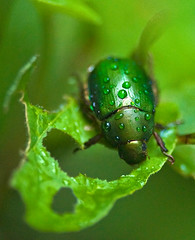 Green Chafer In Rain, Anomala cuprea, ドウガネブイブイ (aeschylus18917) Tags: macro green nature rain japan insect nikon waterdrop g beetle micro 日本 nikkor f28 vr chafer raindrop pxt coleoptera 105mm insecta 甲虫 105mmf28 scarabaeidae rutelinae カブトムシ 105mmf28gvrmicro anomala d700 nikkor105mmf28gvrmicro ダニエル 兜虫 rutelini danielruyle aeschylus18917 danruyle druyle ルール ダニエルルール cupreouschafer ドウガネブイブイ anomalina anomalacuprea