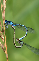 <3 (annabellemartensen) Tags: blue summer baby 3 ontario canada macro male green love nature grass female canon bug insect wings eyes focus babies wheat breeding mating damselfly stitched sexonthebeach damselflies microsoftpaint thorax odonata abdomen 2011 bluetaileddamselfly blueringeddancer
