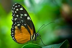 Heliconius hecale (d_smets) Tags: france nature butterfly natuur papillon alsace frankrijk mariposa vlinder elzas hunawihr vlindertuin tigerlongwing goldenhelicon sigma105mm jardinsdespapillons pentaxk7