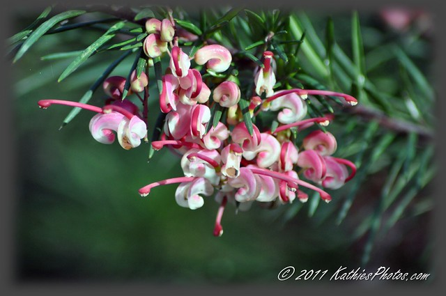 Grevillea on show