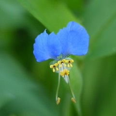 Asiatic dayflower (shagzi23) Tags: gf1 flowersadminfave g20mmf17