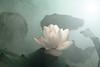 IMG_0274-1-1000 (Bahman Farzad) Tags: flower macro yoga peace lotus relaxing peaceful meditation therapy lotusflower lotuspetal lotuspetals lotusflowerpetals lotusflowerpetal