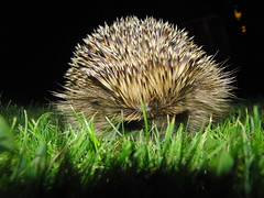 Lawn Hedgehog close up (Alex Staniforth: Wildlife/Nature Photography) Tags: uk wild alex night dark photography cheshire wildlife group casio hedgehog common staniforth exfh20