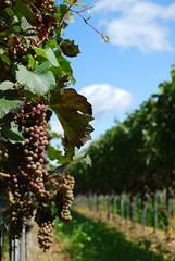 bickensohl (Ginkgo-Biloba) Tags: germany kaiserstuhl vino wines vigneti bickensohl supercontest