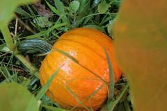 pumpkins 015
