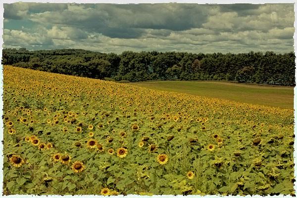 Sunflower - Polaroid