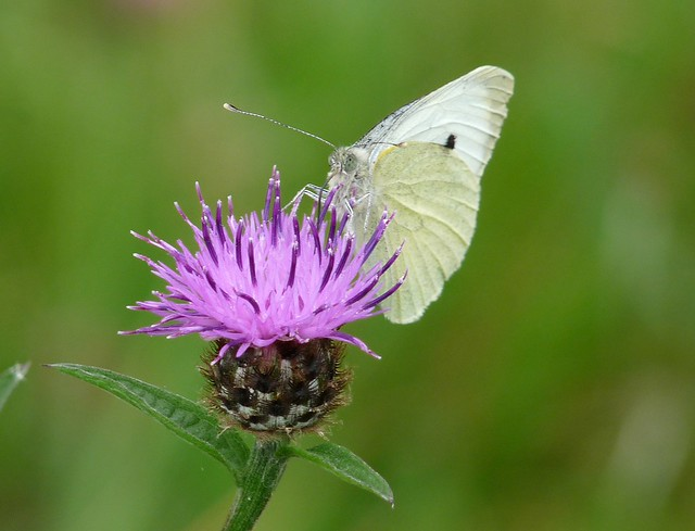 24783 - Green Veined White, Llangorse Lake