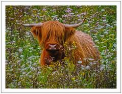 (Loe Giesen) Tags: highlandcattle mucklecoo meerlebroek hooglandrund