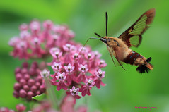 Clearwing Hummingbird Moth (naturethroughmyeyes.com) Tags: summer ontario macro nature insect moth hummingbirdmoth butterflyweed clearwing canon7d photocontesttnc11 naturethroughmyeyescom barbaralynne