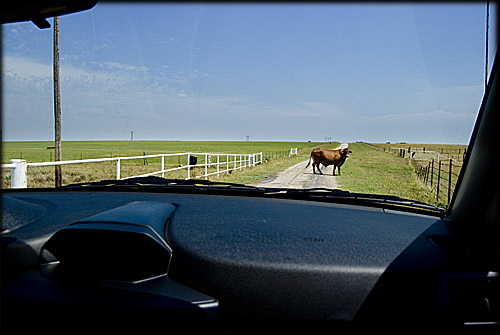 cow-in-roadway