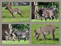 "It's ""Esel""-time ! (xmyrxn) Tags: donkey esel reken frankenhof xmyrxn"