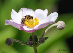 Pollenation (PhotoArtOne) Tags: flower nature garden bee anemone honeybee diamondclassphotographer flickrdiamond