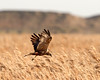 Hunting 2 (Andrew Haynes Wildlife Images) Tags: nature wildlife cley canon7d femalemarshharrier ajh2008