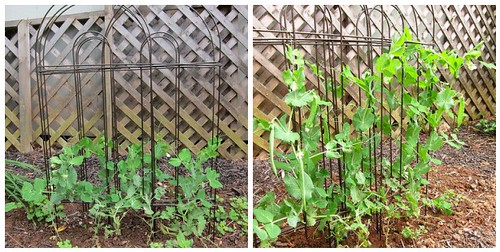 before and after - peas
