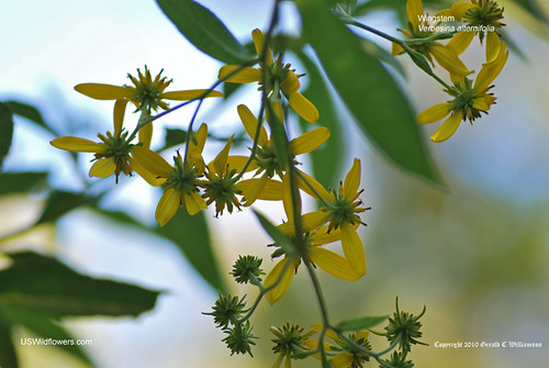 Wingstem, Yellow Ironweed - Verbesina alternifolia