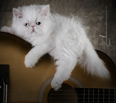 Cat Portrait [ Explore'd ] (Abdulilah Al-yousef ) Tags: portrait cat guitar