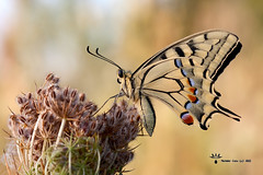 Papilio Machaon (Massimo Casa) Tags: macro canon 10028 40d